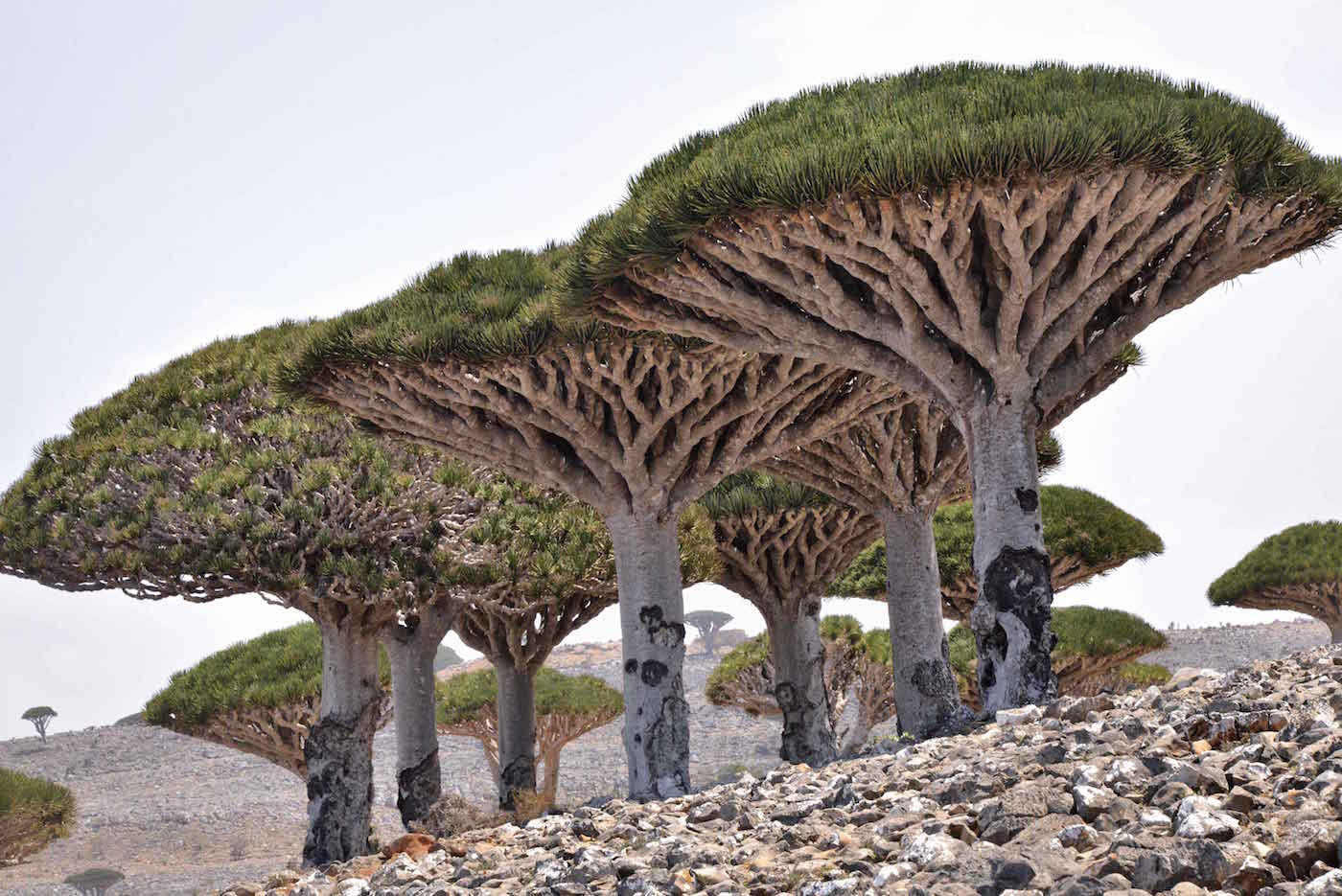Dragon Blood Trees of Socotra, Yemen