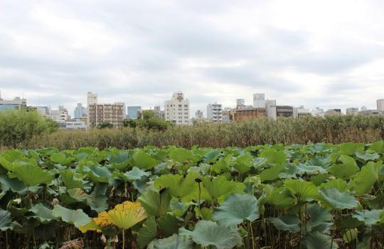 Shinobazu Pond Ueno Onshi Park Tokyo