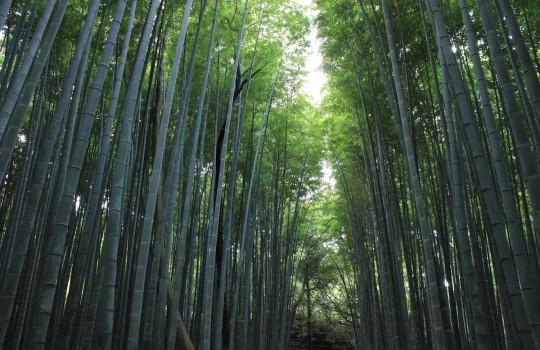 Bamboo forest of Arashiyama Kyoto Japan
