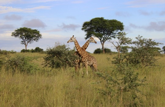Giraffes in Murchison Falls National Park Uganda