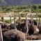 Ostrich Land, Buellton