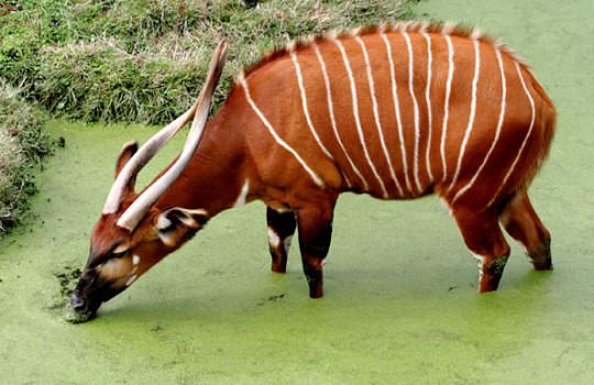 Bongo Antelope Aberdare National Park Kenya