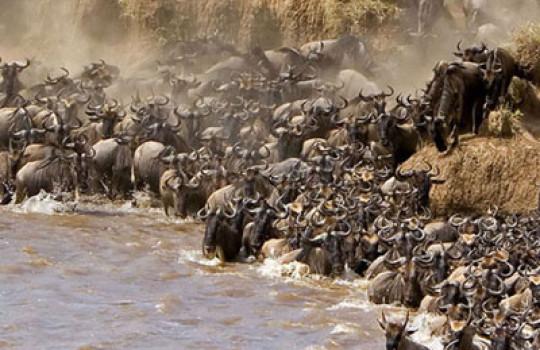 Wildebeest migration Masai Mara Game Park Kenya