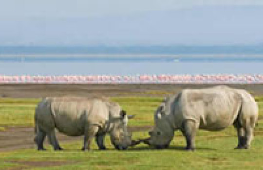 Rhinos in Lake Nakuru National Park Kenya